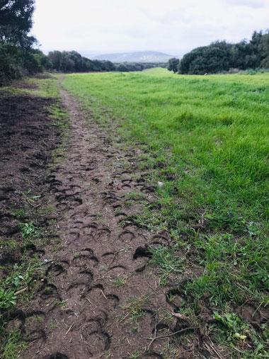 Un sentiero di campagna con le impronte degli zoccoli dei cavalli appena passati lungo il Cammino di Santa Barbara.