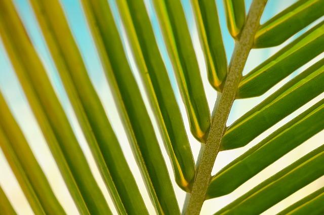Una foglia di palma.